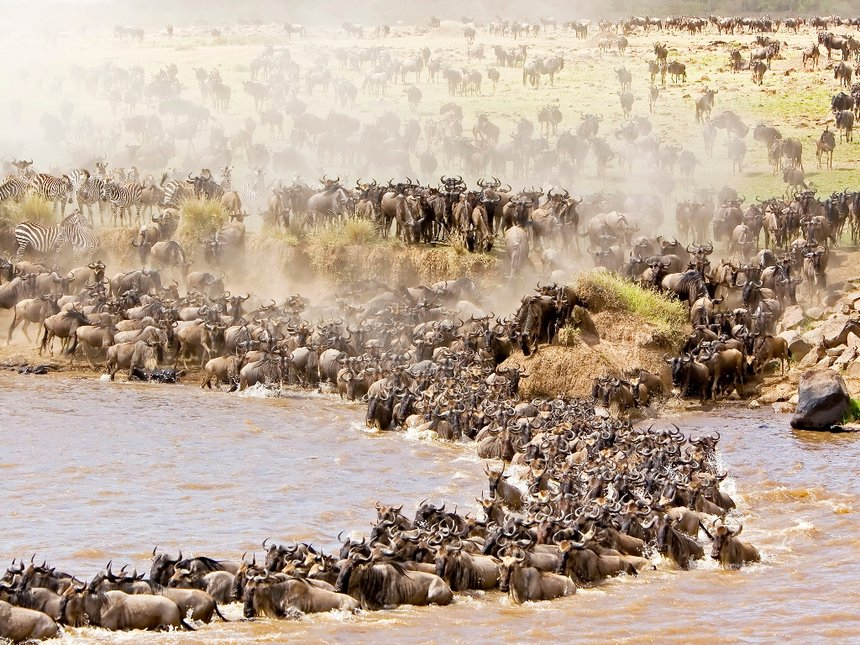 Wildebeests cross Mara River during a past migration at the Masai Mara National Reserve.